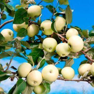 Сад Марьинкасаженцы яблони белый налив