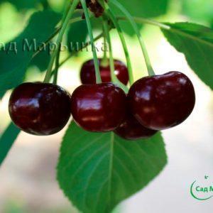 Сад Марьинка саженцы вишни крупноплодная