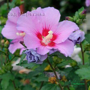 Сад Марьинка саженцы гибискуса