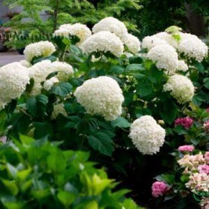 Сад Марьинка саженцы гортензии аннабель