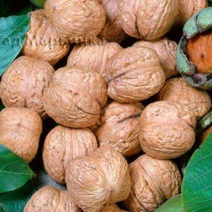 Сад Марьинка саженцы грецкого ореха