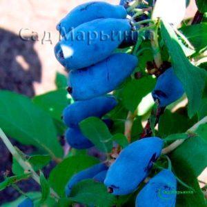Сад Марьинка саженцы жимолости голубой десерт