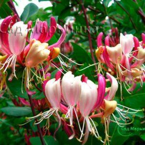 Сад Марьинка саженцы жимолости каприфоль серотина