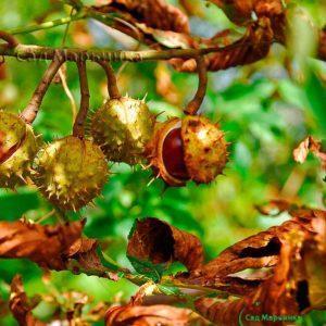 Сад Марьинка саженцы каштана обыкновенного