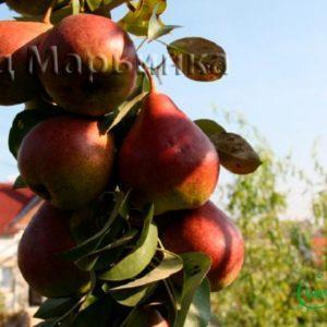 Сад Марьинка саженцы колоновидной груши сапфира
