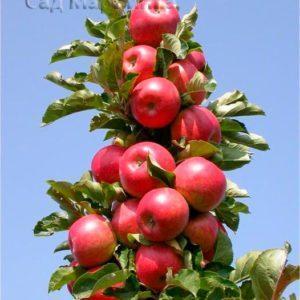 Сад Марьинка саженцы колоновидной яблони рондо