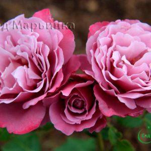 Сад Марьинка саженцы роз Аметист
