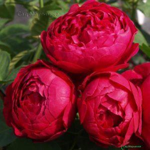 Сад Марьинка саженцы роз Аскот