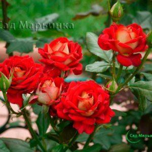 Сад Марьинка саженцы роз Фэшн
