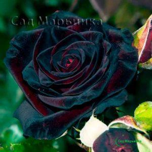 Сад Марьинка саженцы роз блэк