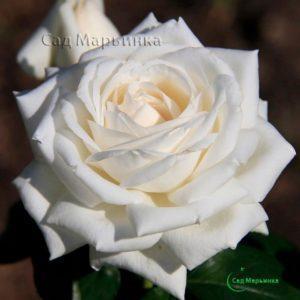 Сад Марьинка саженцы роз боинг белый