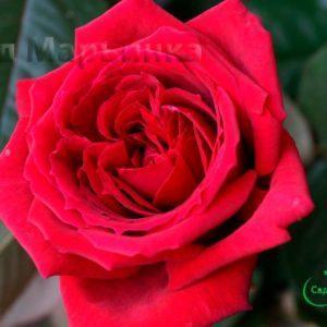 Сад Марьинка саженцы роз ботеро
