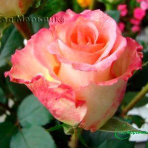 Сад Марьинка саженцы роз дуэт