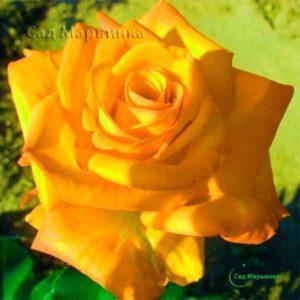 Сад Марьинка саженцы роз керио