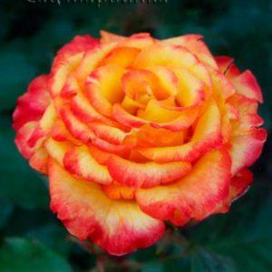 Сад Марьинка саженцы роз конфети
