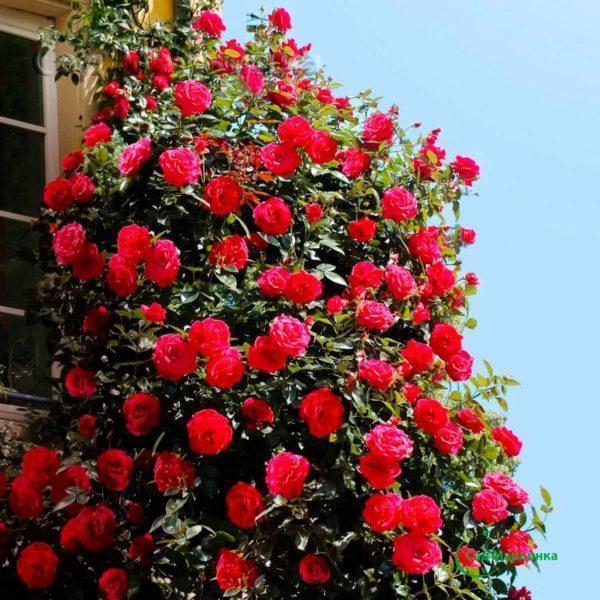 Сад Марьинка саженцы роз красная плетистая