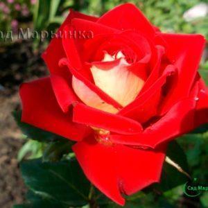 Сад Марьинка саженцы роз люксор