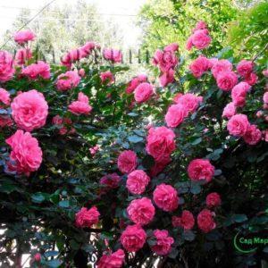 Сад Марьинка саженцы роз малиновая парковая