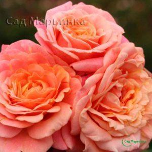Сад Марьинка саженцы роз мельба