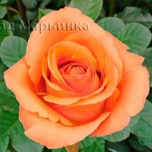 Сад Марьинка саженцы роз милва