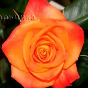 Сад Марьинка саженцы роз миракл