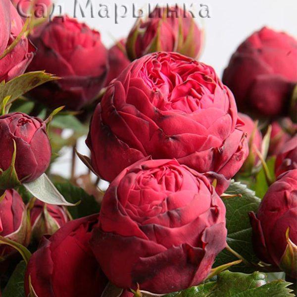 Сад Марьинка саженцы роз пиано