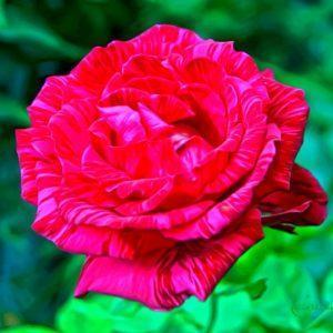 Сад Марьинка саженцы роз ред интуишн