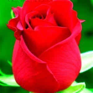 Сад Марьинка саженцы роз самурай красный