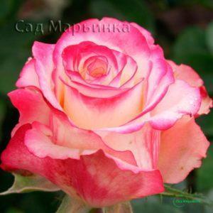 Сад Марьинка саженцы роз свитнесс