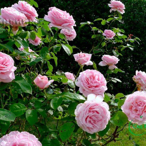 Сад Марьинка саженцы роз фредерик мистраль