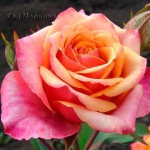 Сад Марьинка саженцы роз черри бренди