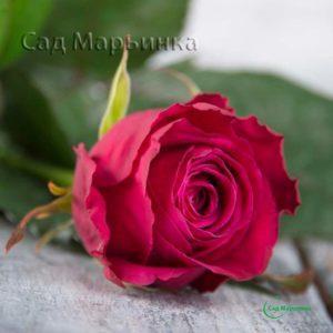 Сад Марьинка саженцы роз шангри ла