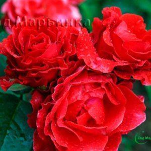Сад Марьинка саженцы роз эль торо
