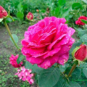 Сад Марьинка саженцы роз юрианда