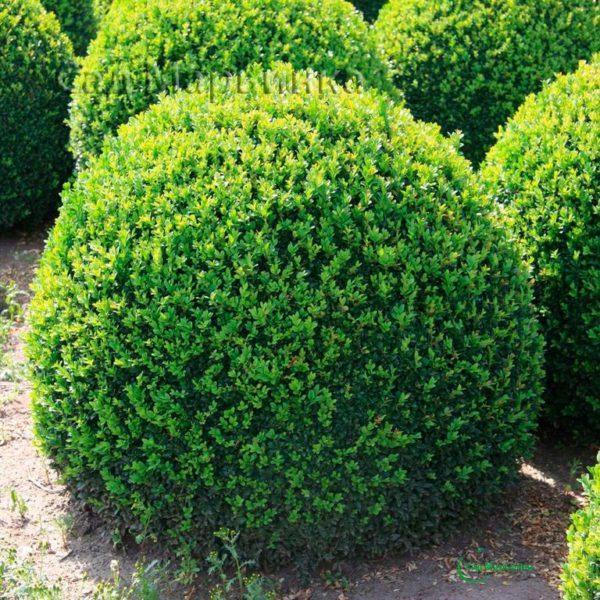 Сад Марьинка саженцы самшита