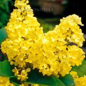 Сад Марьинка саженцы сирени желтой
