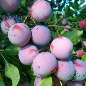 Сад Марьинка саженцы сливы анна шпет