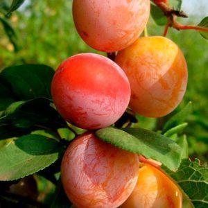 Сад Марьинка саженцы сливы персиковая.