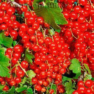 Сад Марьинка саженцы смородины мармеладница