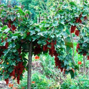 Сад Марьинка саженцы смородины на штамбе красная