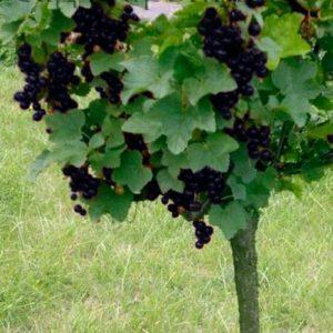 Сад Марьинка саженцы смородины на штамбе черной