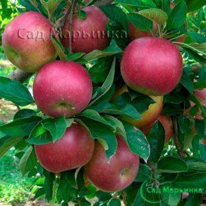 Сад Марьинка саженцы яблони айдаред