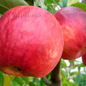 Сад Марьинка саженцы яблони жигулевское