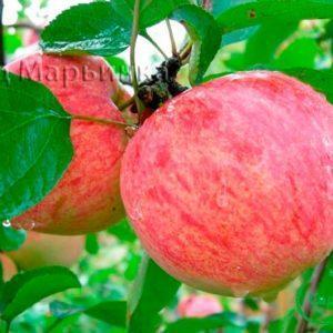 Сад Марьинка саженцы яблони коричное