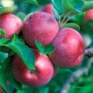 Сад Марьинка саженцы яблони спартан