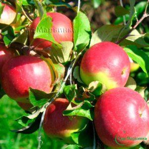 Сад Марьинка саженцы яблони уэлси